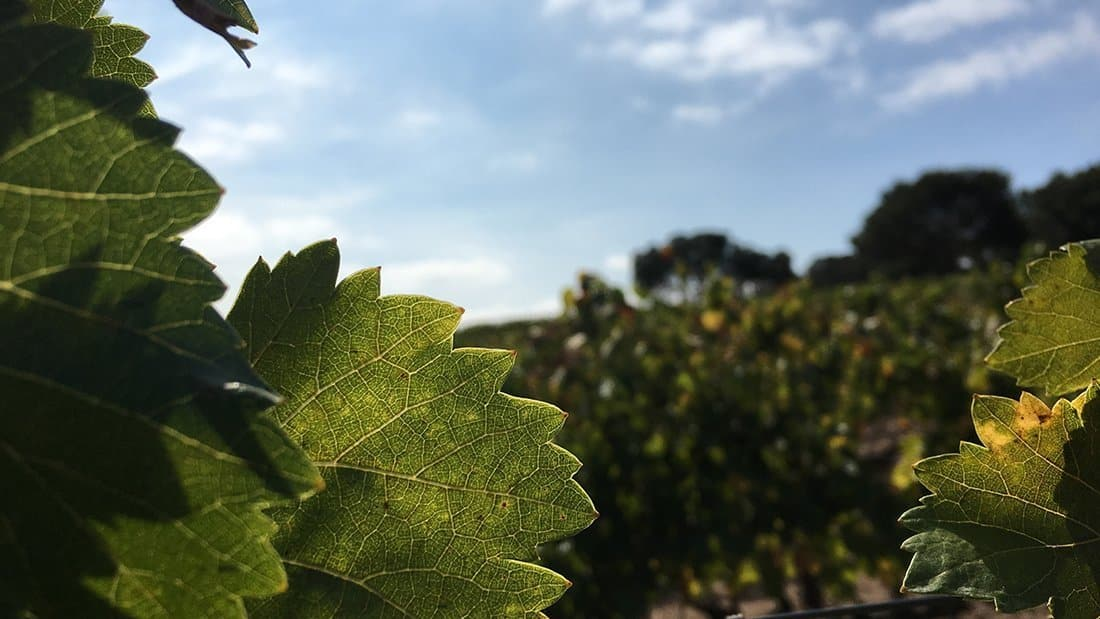 In a vineyard, a close up of a group of grape vine leaves in the sun.
