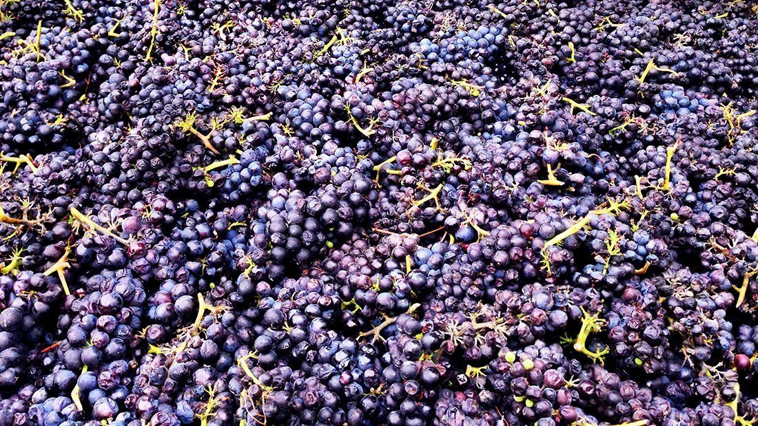 High quality red grapes harvested and ready for processing.