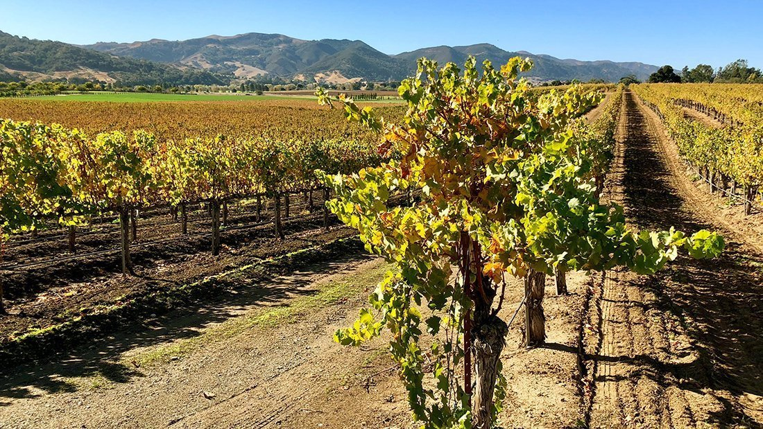 A beautiful view of grapevines overlooking the Santa Ynez Valley at harvest time.