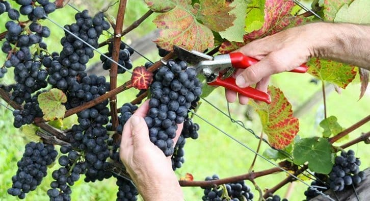 Harvesting a pinot noir cluster off a vine.