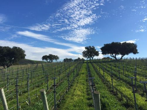 Crisp winter afternoon in the vines.